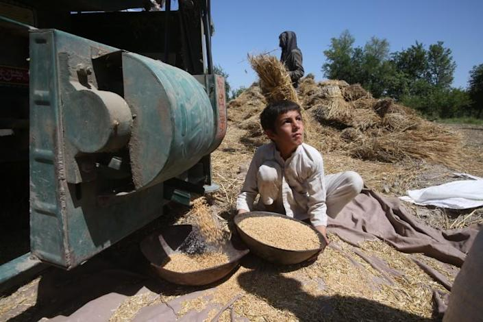 """A boy collects wheat from a thresher in Peshawar, Pakistan, in May. <span class=""""copyright"""">(Muhammad Sajjad / Associated Press)</span>"""