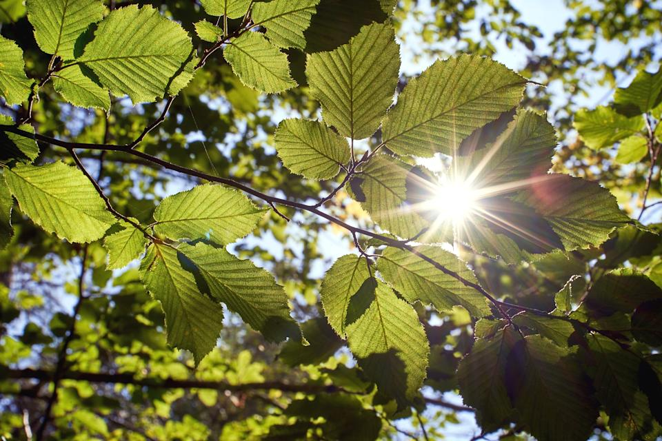 Sunlight beams get through the green foliage of beech trees in virgin forest