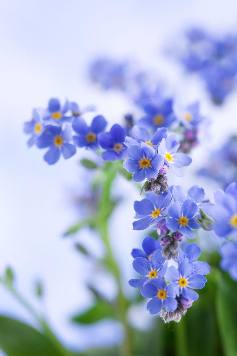 <p>Yes, it's all in the name! Forget-me-nots ask that you forget-me-not. A faraway friend would surely appreciate these delicate blossoms. </p>