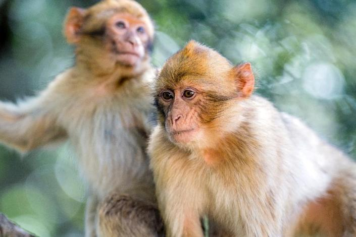 In October, the Barbary macaque was listed as a species threatened with extinction on the Convention on International Trade in Endangered Species (CITES). (AFP Photo/FADEL SENNA)