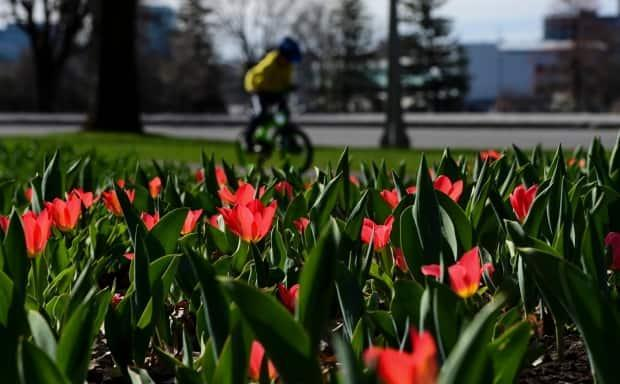 Tulips bloom in Ottawa on Tuesday, April 13, 2021. THE CANADIAN PRESS/Sean Kilpatrick