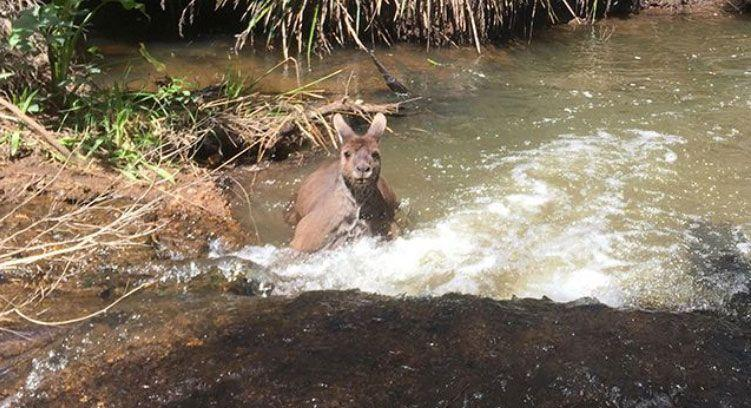 When roos are threatened by dogs, they get into water, Professor Coulson said. Source: Caters/Jackson Vincent