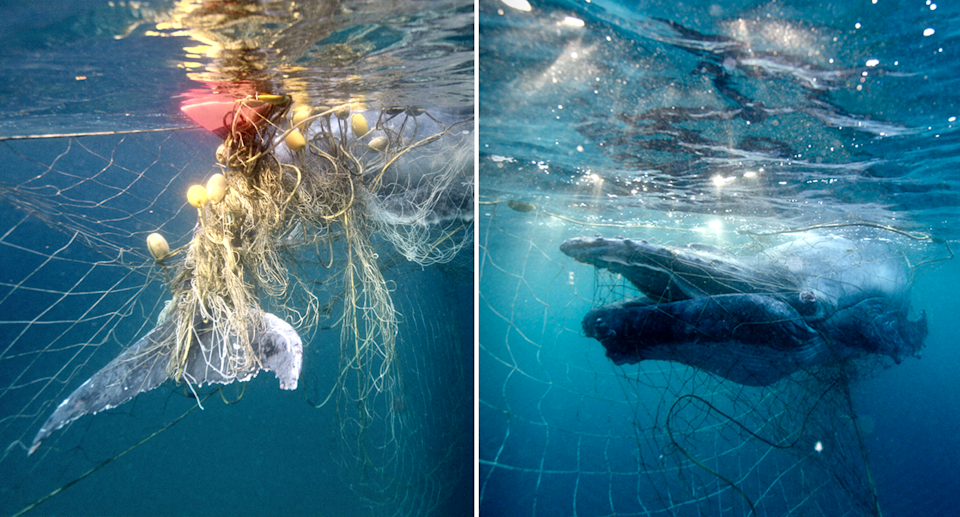 Two file images of whales caught in shark nets.