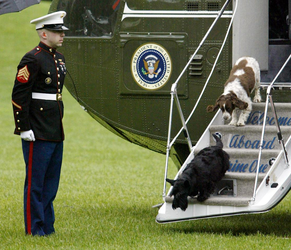 U.S. President George W. Bush's pet dogs, Barney (bottom) and Spot (top) step off Marine One under the guard of a U.S. Marine on the South Lawn of the White House, May 5, 2003. The president was returning from a visit to his ranch in Central Texas.