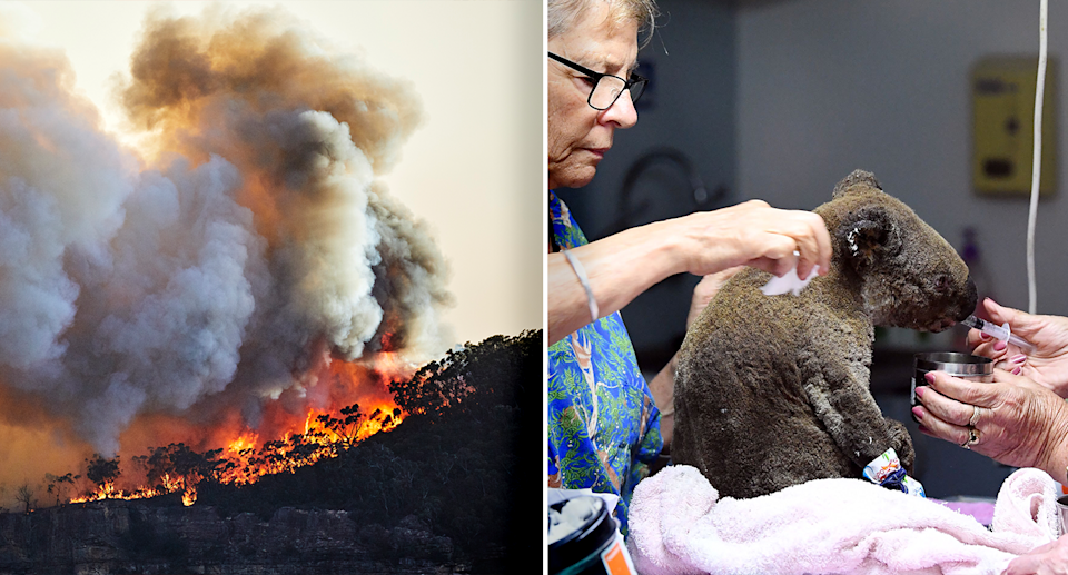 Thousands of koalas were killed and injured during the Black Summer bushfires. Source: Getty