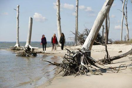 Women walk through a coastal ghost forest believed to be caused by sea level rise on Assateague Island in Virginia