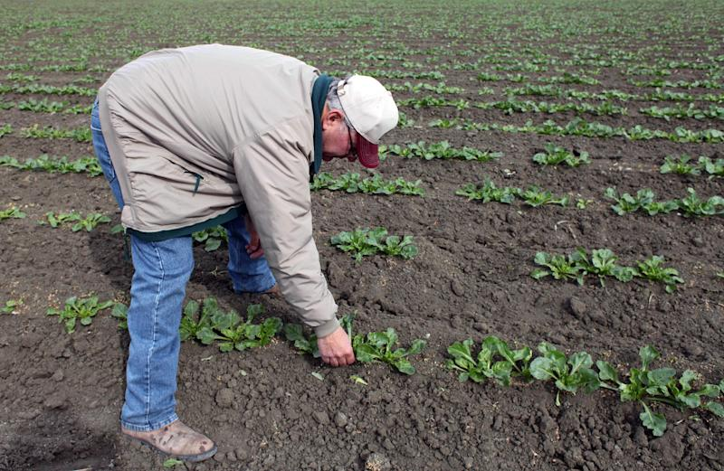 In this March 6, 2013 photo, farmer Frank DelTesta bends over to check on the sugar beets that will be processed into ethanol at a demonstration plant that's under construction, in Five Points, Calif. If the demo plant is successful, DelTesta and a dozen other farmers plan to build the nation's first commercial-scale beet bio-refinery. (AP Photo/Gosia Wozniacka)