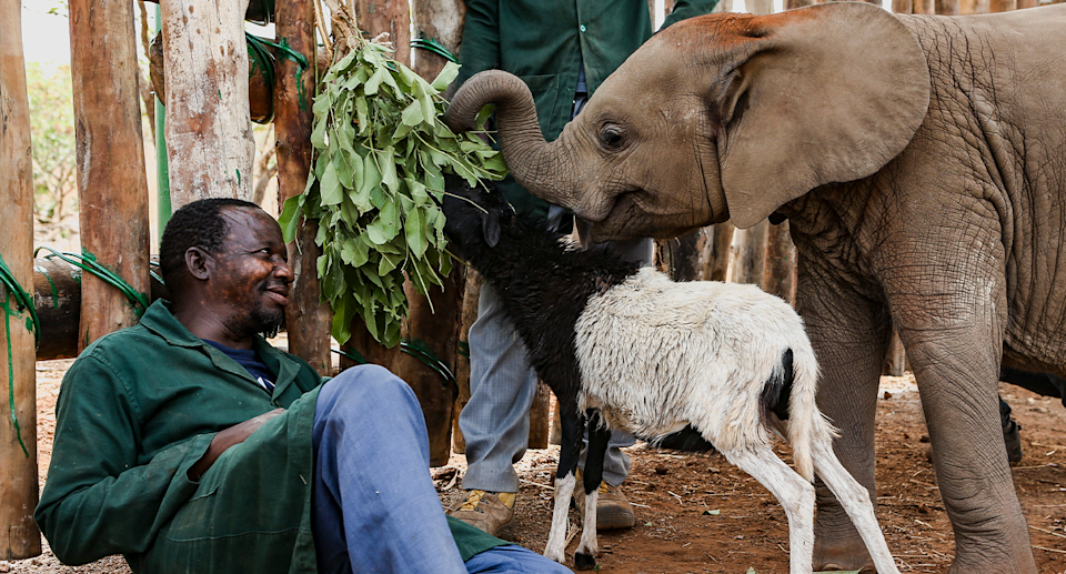 Nania the elephant has become close to Whisty the goat and her carers. Source: IFAW