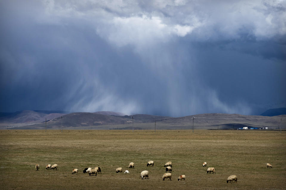Sheep graze on the Tibetan plateau as the sun illuminates a cloudburst in the distance in Namtso in western China's Tibet Autonomous Region, during a government organized visit for foreign journalists, Wednesday, June 2, 2021. (AP Photo/Mark Schiefelbein)