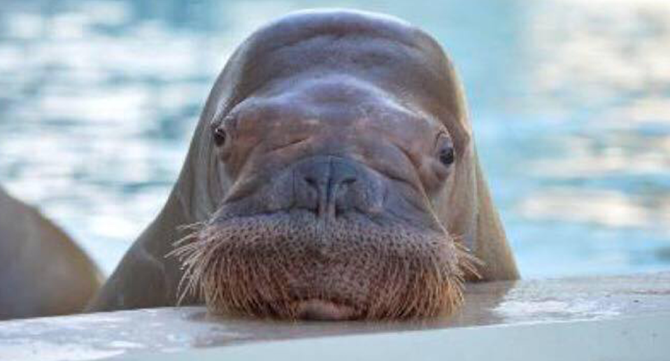 Close up of Smooshi the walrus against water.