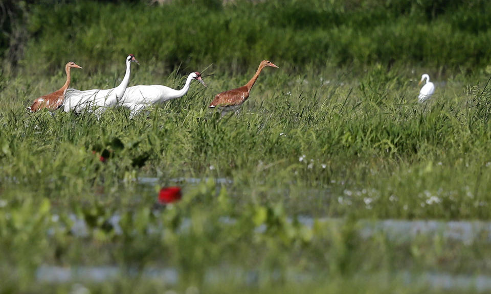 FILE - In this June 11, 2018 file photo, a pair of captive-bred whooping cranes and their 2-month-old wild-hatched chicks forage through a crawfish pond near an egret, far right, in Jefferson Davis Parish, La. The COVID-19 pandemic means far fewer chicks than usual are being bred in captivity to release in the wild in fall 2020, helping to bring back the world's rarest cranes. (AP Photo/Gerald Herbert, File)