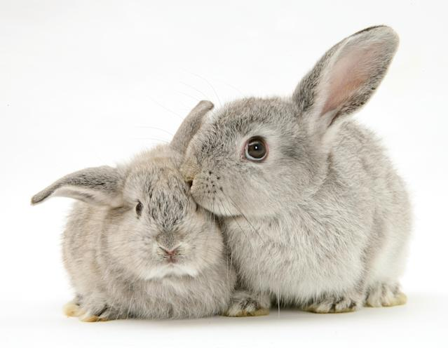<p>Mother and baby silver rabbits. (Warren Photographic/Mercury Press) </p>