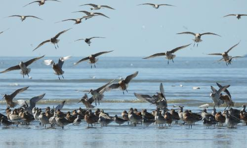 Endangered shorebirds unsustainably hunted during migrations, records show