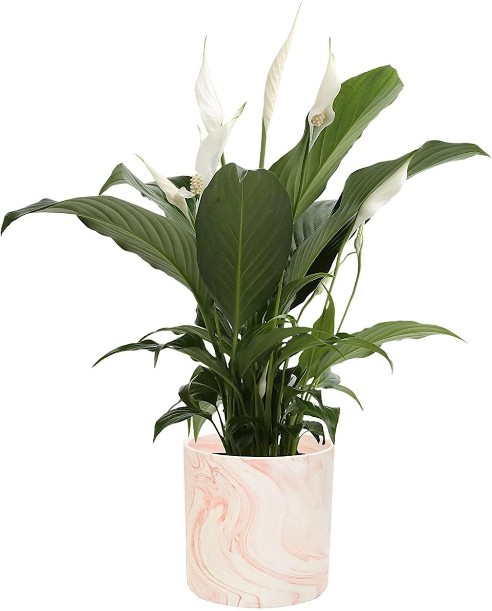 <p>The big, bright leaves on this <span>Peace Lily</span> ($36) make the delicate white flowers stand out even more.</p>