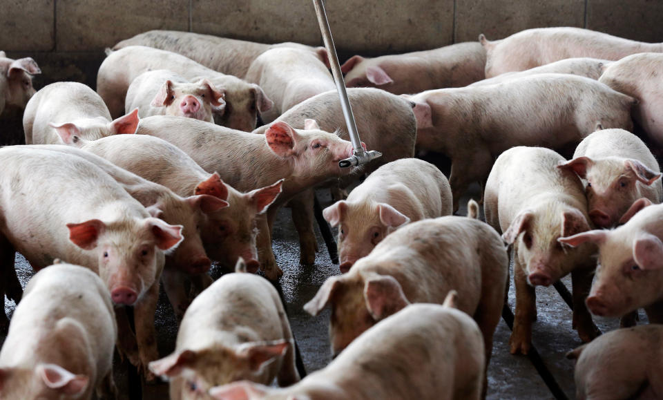 FILE- In this July 21, 2017, file photo, young hogs owned by Smithfield Foods gather around a water source at a farm in Farmville, N.C. A federal appeals court on Thursday, Nov. 19, 2020 upheld a 2018 jury verdict that led to awarding monetary damages to neighbors of a North Carolina industrial hog operation for smells and noise they said made living nearby unbearable. (AP Photo/Gerry Broome, File)