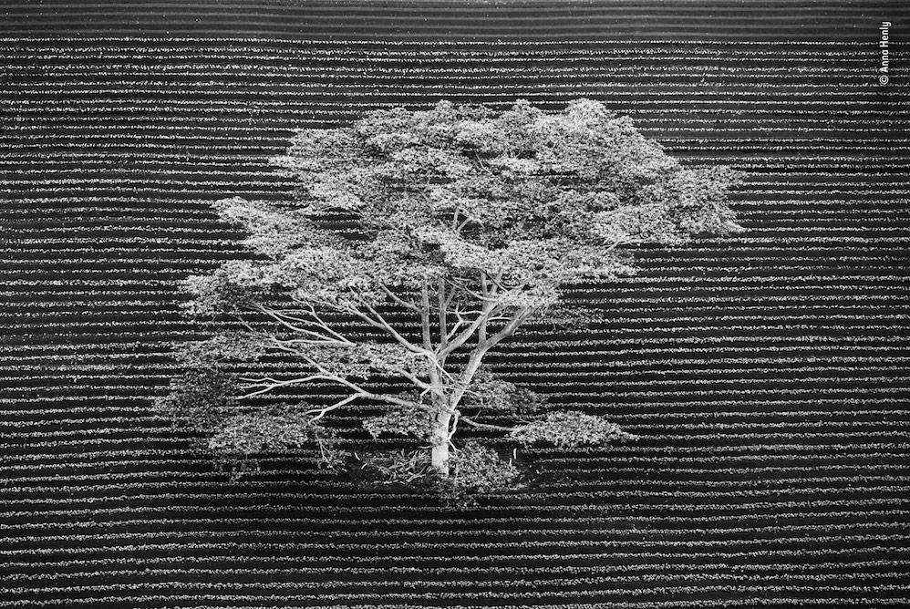<p>Isolated by Anna Henly, UK – Snapped from a helicopter, this isolated tree stands in a cultivated field on the edge of a tropical forest on Kauai, Hawaii. </p>