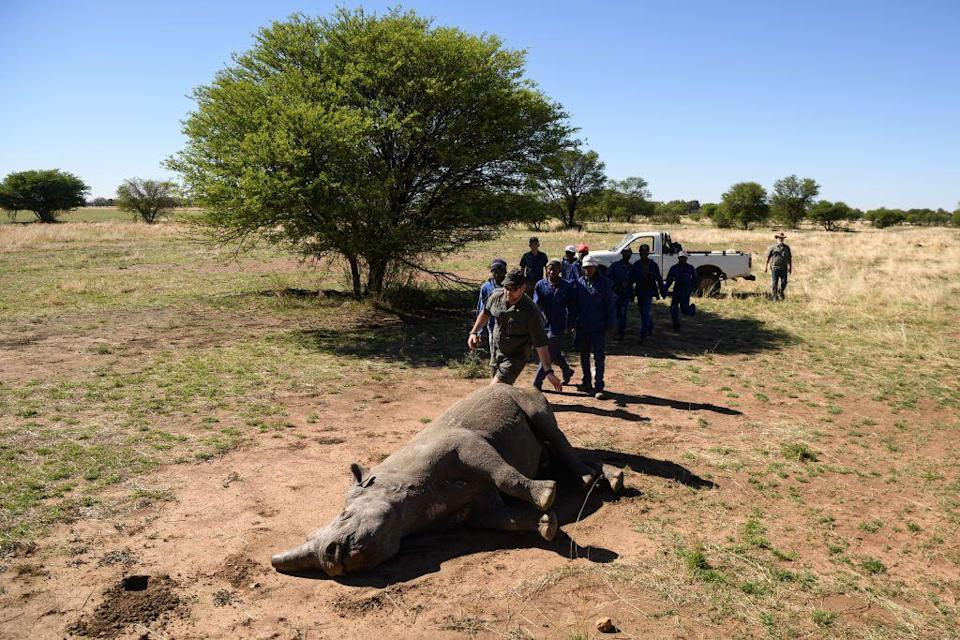 <p>The majestic West African black rhino was declared extinct in 2006, after conservationists failed to find any in their last remaining habitat in Cameroon. The West African black rhino was one of four subspecies of rhinoceros.</p><p>The photo of the one pictured here was taken in 2017 while the rhino was under sedation for a routine horn trimming (this is a preventive measure to deter poachers.)</p><p><strong>Cause of Extinction:</strong> poachers hunted the rhino for its horn, which is believed by some in Yemen and China to possess aphrodisiacal powers, leading to their extinction.</p>