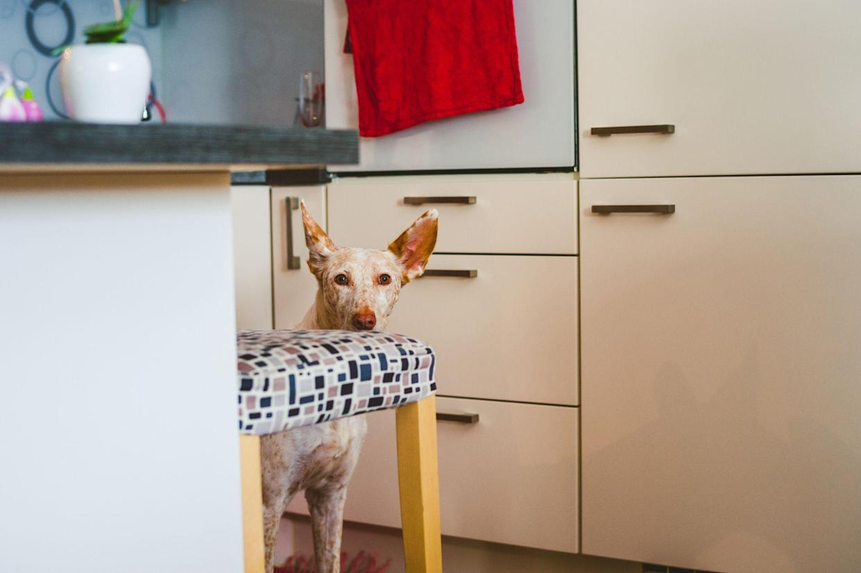 Cute Podenco dog in the kitchen, hiding behid the chair