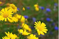 """<p>A cheery summer plant, Corn Marigolds are also brilliant to welcome wildlife into your outdoor space. With golden-yellow discs and a green stem, they are one of the loveliest wild flowers around. </p><p>""""The voluptuous flowerheads rank highly for nectar production, and are visited by bees, very small butterflies, hover-flies and <a href=""""https://www.countryliving.com/uk/homes-interiors/interiors/a21927320/clothes-moths-increase-britain-lower-temperature-washes/"""" rel=""""nofollow noopener"""" target=""""_blank"""" data-ylk=""""slk:moths"""" class=""""link rapid-noclick-resp"""">moths</a>,"""" says Michael. </p><p><a class=""""link rapid-noclick-resp"""" href=""""https://justseed.com/products/d67-b1e-2f3"""" rel=""""nofollow noopener"""" target=""""_blank"""" data-ylk=""""slk:BUY MARIGOLD SEEDS"""">BUY MARIGOLD SEEDS</a></p>"""