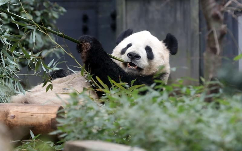 Chilling out: Male giant panda Ri Ri eats bamboo grass after mating  - Aflo / Barcroft Media