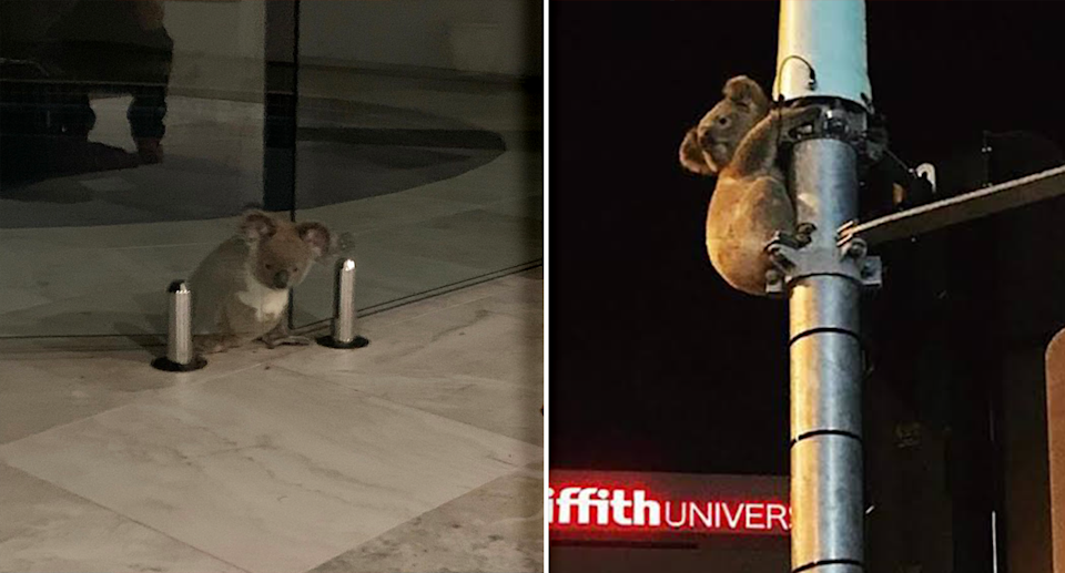Left - a koala with his head caught in a pool fence. Right - a koala up a tall metal post.