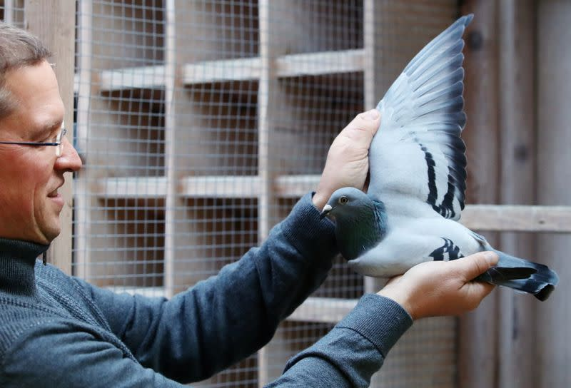 A two-year old female pigeon named New Kim, that will set a new world record price, is seen in Knesselare