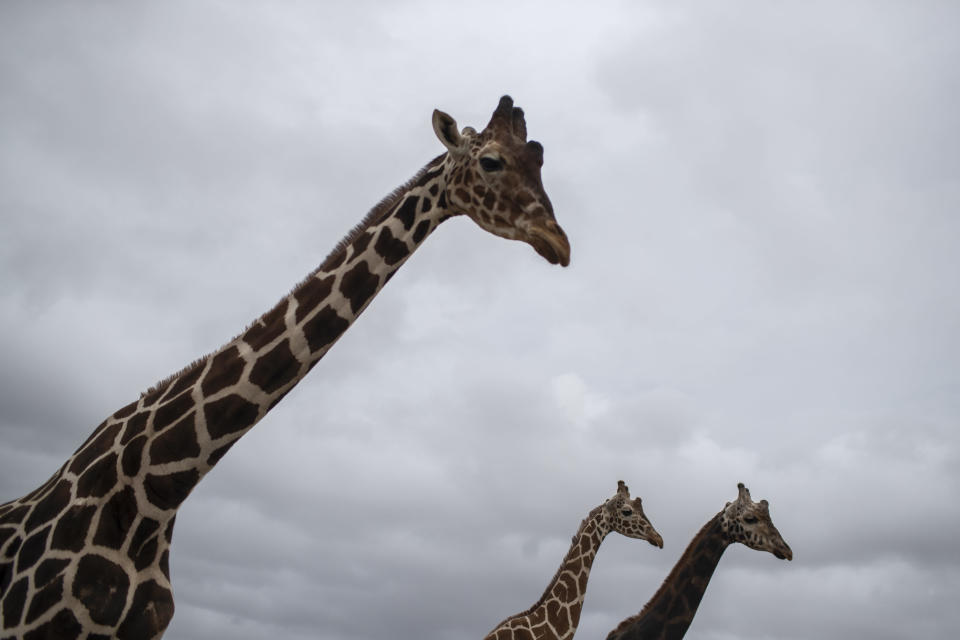 Giraffes walk in the Attica Zoological Park in Spata, near Athens, on Tuesday, Jan. 26, 2021. (AP Photo/Petros Giannakouris)