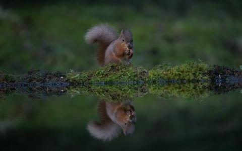 On the 'Red' list: the original British squirrel could be gone within 10 years - Credit: Charlotte Graham