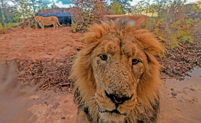 Lblis the male Asiatic Lion walks around the new lion habitat at Chester Zoo, Cheshire. (Photo by Peter Byrne/PA Images via Getty Images)