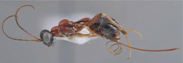 The ovipositor of the female wasp, which helps her penetrate the walls of the spider igloo nest.