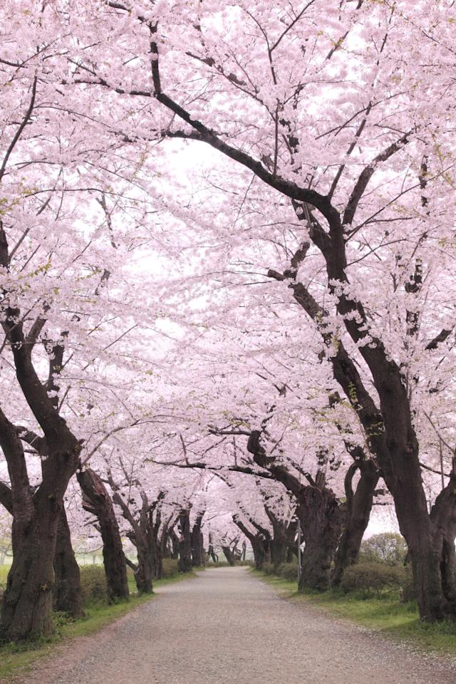 <p>While Japan is beautiful year-round, the few weeks each spring when cherry trees across the country explode with blossoms is a particularly pretty time to visit.<br></p>