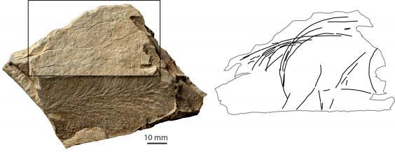 A depiction of the rear part of a wild horse, found at the Jersey site. Around 13,000-13,500 BC. The photograph shows a plaque fragment – and the many lines/images engraved on it. The drawing simply isolates the depiction of the horse, so that one can see it as an individual animal (S Bello/Natural History Museum)