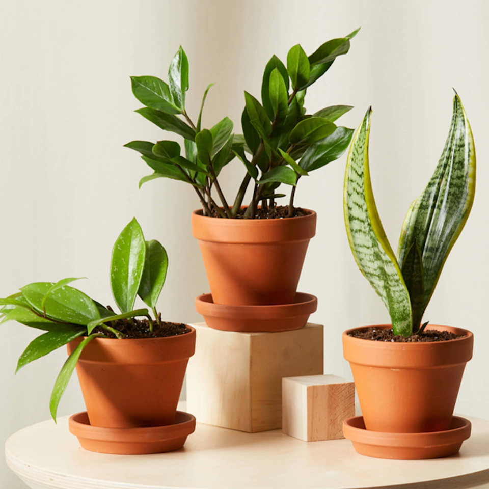 """Your roomie who's never home will be thrilled to receive this trio of plants that thrive with neglect. $69, Bloomscape. <a href=""""https://bloomscape.com/product/tough-stuff-collection/"""" rel=""""nofollow noopener"""" target=""""_blank"""" data-ylk=""""slk:Get it now!"""" class=""""link rapid-noclick-resp"""">Get it now!</a>"""