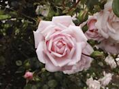 <p>The World Convention of Rose Societies once voted this fresh-smelling modern rose the most popular rose in the world! A vigorous climber, it can reach 15 feet and looks great trained up a wall, fence, or arbor. </p>