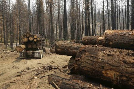 A logging truck is pictured among burned trees, felled following last year's Rim fire, near Groveland, California July 30, 2014. REUTERS/Robert Galbraith