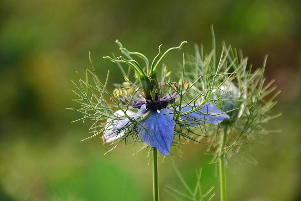 """<p>The Nigella is an annual herb with erect stems of approximately 50cm high and characteristic slender, thread-like leaf segments. The 'halo' or 'mist' around the colourful petals is created by the finely divined and hair like bracts that surround the single flowers.</p><p><a class=""""link rapid-noclick-resp"""" href=""""https://go.redirectingat.com?id=127X1599956&url=https%3A%2F%2Fwww.crocus.co.uk%2Fplants%2F_%2Fnigella-damascena-miss-jekyll%2Fclassid.2000014800%2F&sref=https%3A%2F%2Fwww.housebeautiful.com%2Fuk%2Fgarden%2Fplants%2Fg22113752%2Fjuly-flowers-seasonal-bloom%2F"""" rel=""""nofollow noopener"""" target=""""_blank"""" data-ylk=""""slk:SEEDS: BUY NOW"""">SEEDS: BUY NOW</a></p>"""