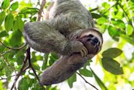 """<p>It's common knowledge that sloths are slow movers, but they don't take their time because they're lazy. The actually have a good reason for their laid-back lifestyle. Per the BBC, their molasses-like movements are part of their <a href=""""https://www.bbc.com/future/article/20190828-why-do-sloths-move-so-slowly"""" rel=""""nofollow noopener"""" target=""""_blank"""" data-ylk=""""slk:energy-saving techniques, which helps them regulate their body temperature"""" class=""""link rapid-noclick-resp"""">energy-saving techniques, which helps them regulate their body temperature</a>. <br></p>"""