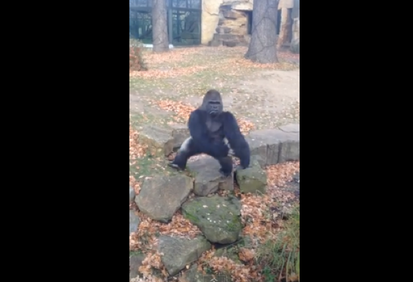 Zoo gorilla throws rock at tourists (video)