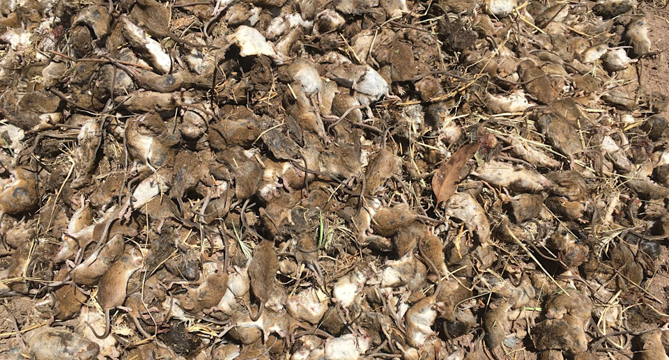 Mice piled up at a property in Gilgandra.