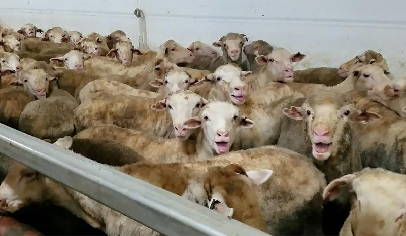 Footage taken by animal activists last year showing overcrowded, dying and heat-stricken sheep on ships to the Middle East shocked the Australian public and prompted new calls to ban the live export trade (AFP Photo/Animals Australia)