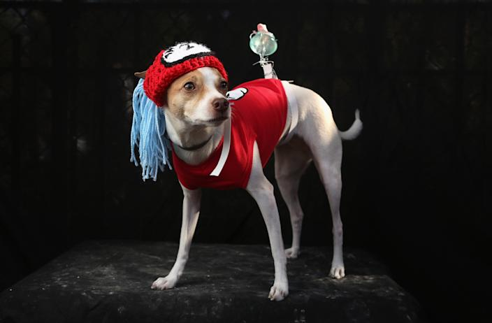 Dollar, a Toy Fox Terrier, poses as Dr. Seuss character Thing 2 at the Tompkins Square Halloween Dog Parade. (Photo by John Moore/Getty Images)