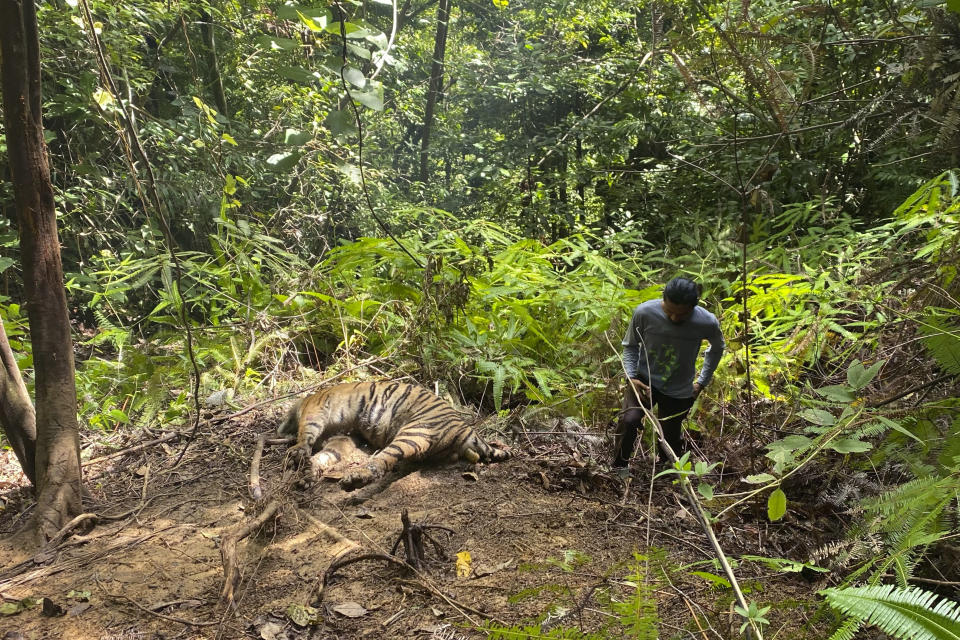 A conservationist stands near the carcass of one of three Sumatran tigers found dead in Ie Buboh village in South Aceh, Indonesia, Thursday, Aug. 26, 2021. A critically endangered Sumatran tiger and its two cubs were found dead in a conservation area on Sumatra island after being caught in boar traps, in the latest setback to a species whose numbers are estimate to have dwindled to about 400 individuals, authorities said Friday, Aug. 27, 2021. (AP Photo/Tuah Albanna)