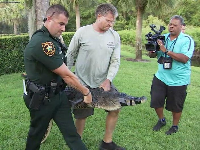<p>An alligator was removed from a small lake in Florida after it mauled a woman's leg while she was walking her dog. </p> (Fox 13)