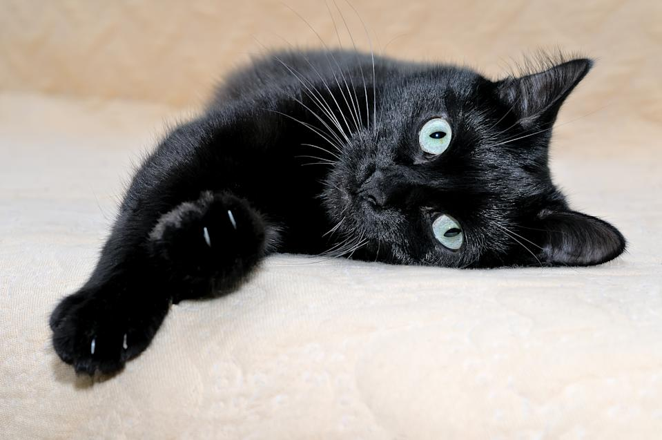 Cute black cat snugly lying on a plaid stretching its paws and looking at the camera.