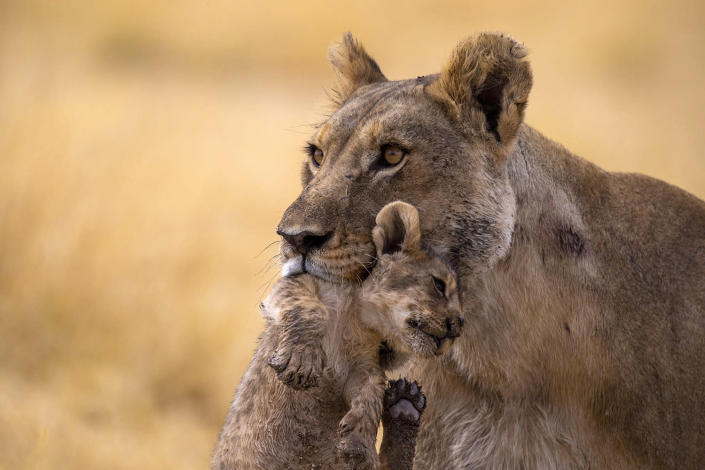 A lioness carries her cub to safety from the Nebrowni water hole in Etosha National Park in Namibia. The little one kept running away to play with other cubs, but there were dangerous young males lurking about. (Photo: Gordon Donovan/Yahoo News)