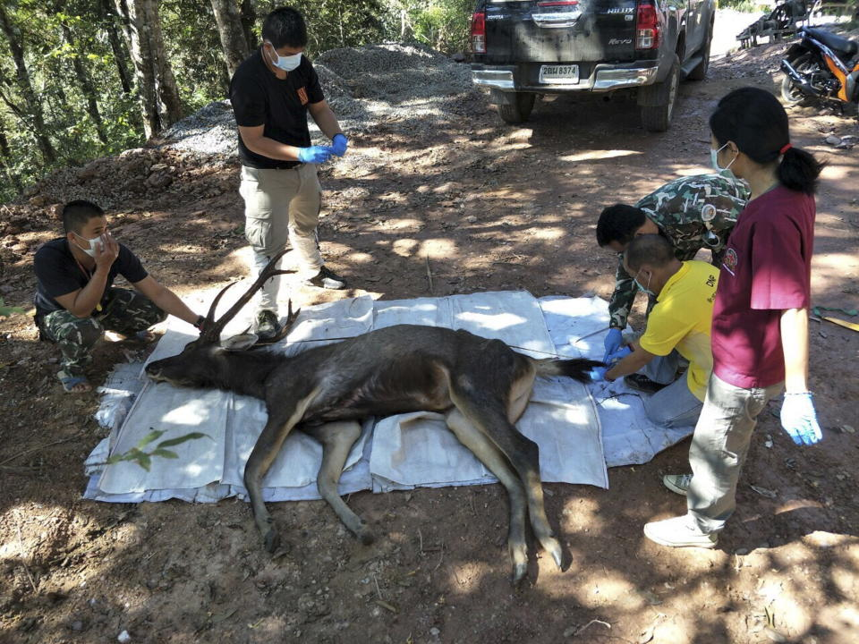 The body of a dead dear was found with plastic bags and underwear in its stomach, in Khun Sathan national park in Nan Province. Source: EPA.