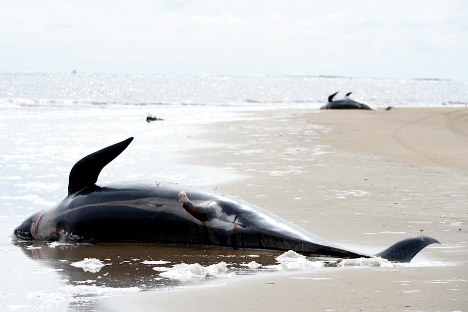 Dead Pilot Whales are seen at Macquarie Harbour on September 24, 2020 in Strahan, Australia. (Photo by Steve Bell/Getty Images)