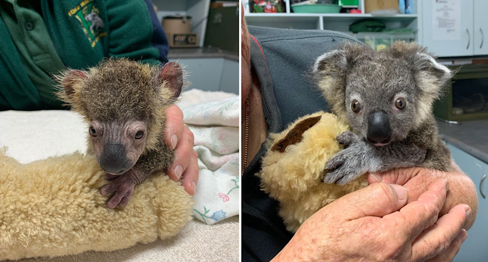 Split screen. Left - sick looking koala joey in care. Right - a healthier looking joey after treatment.