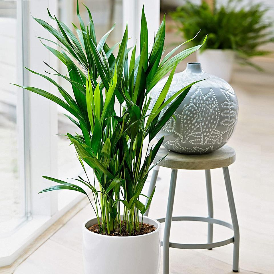 "<p>If you have enough space for a six- to seven-foot plant, consider the <a href=""https://www.popsugar.com/buy/Areca-Palm-Plant-584308?p_name=Areca%20Palm%20Plant&retailer=amazon.com&pid=584308&price=20&evar1=casa%3Aus&evar9=45443819&evar98=https%3A%2F%2Fwww.popsugar.com%2Fhome%2Fphoto-gallery%2F45443819%2Fimage%2F45443875%2FAreca-Palm-Plant&list1=shopping%2Camazon%2Cwellness%2Csleep%2Chouse%20plants%2Cplants&prop13=api&pdata=1"" rel=""nofollow"" data-shoppable-link=""1"" target=""_blank"" class=""ga-track"" data-ga-category=""Related"" data-ga-label=""https://www.amazon.com/dp/B07JBLNM8L/ref=dp_cerb_1"" data-ga-action=""In-Line Links"">Areca Palm Plant</a> ($20). It's an effective air cleaner and a natural humidifier!</p>"