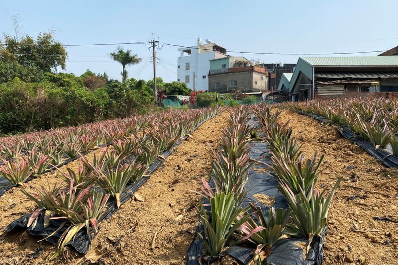 Pineapples grow in a field in Kaohsiung